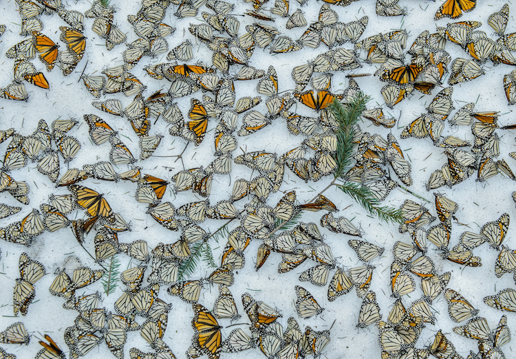 © Jaime Rojo | Monarcas en la Nieve | World Press Photo | Arte a un Click